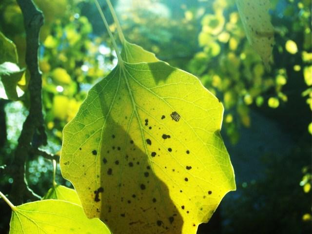sombras en hojas amarillas de alamo a contraluz
