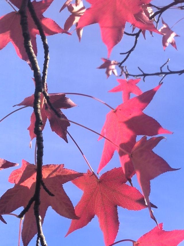 hojas rojas y terciopelo